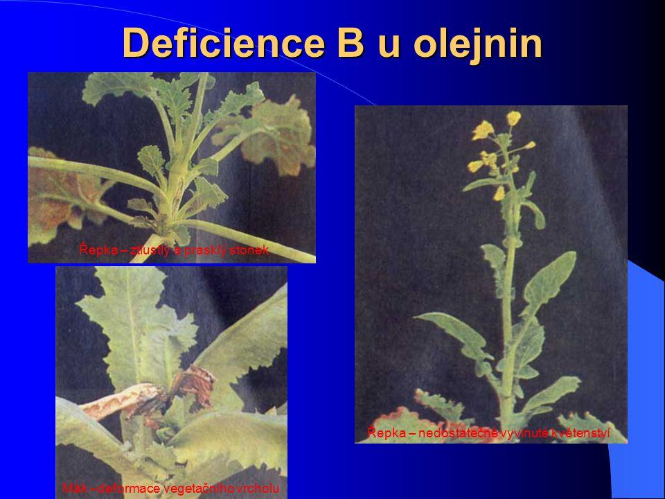Deficience B u olejnin Řepka – ztlustlý a prasklý stonek