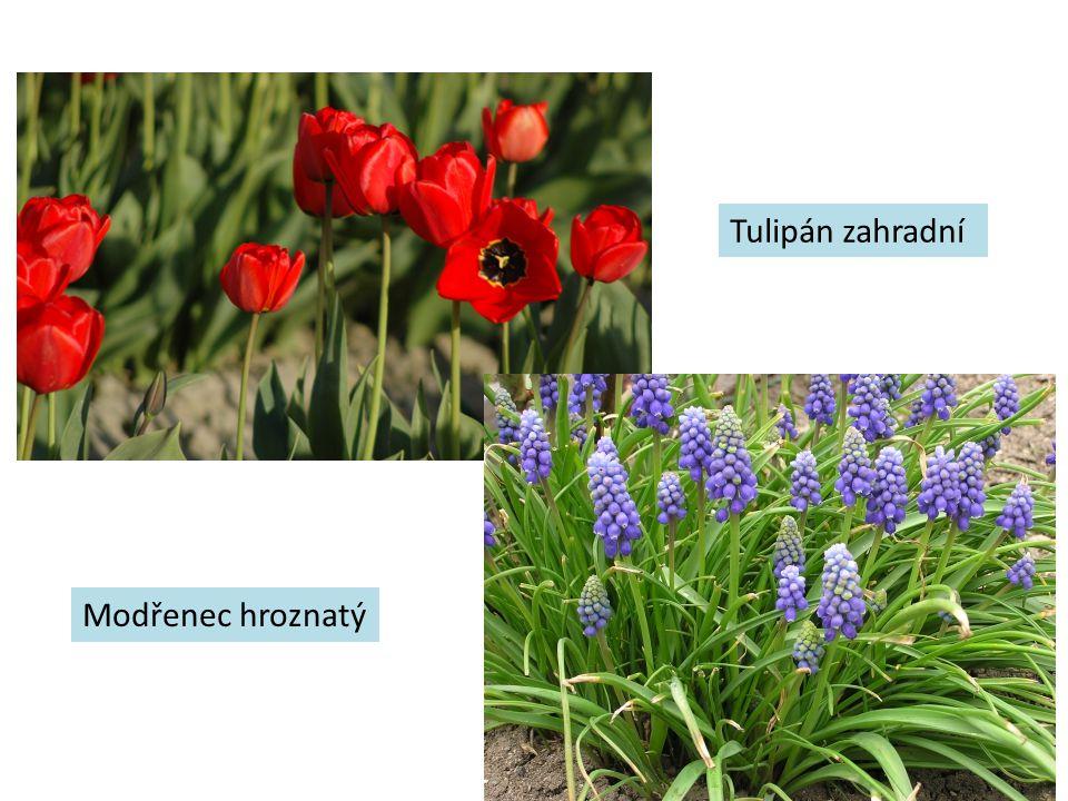 Tulipán zahradní Modřenec hroznatý