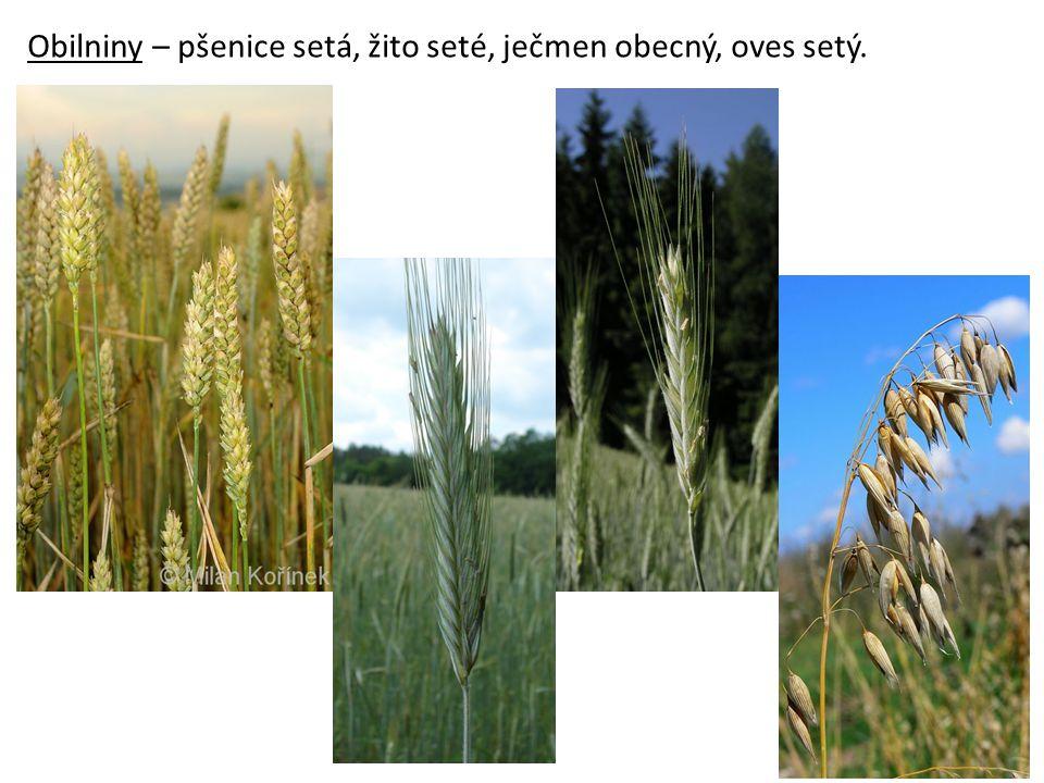 Obilniny – pšenice setá, žito seté, ječmen obecný, oves setý.