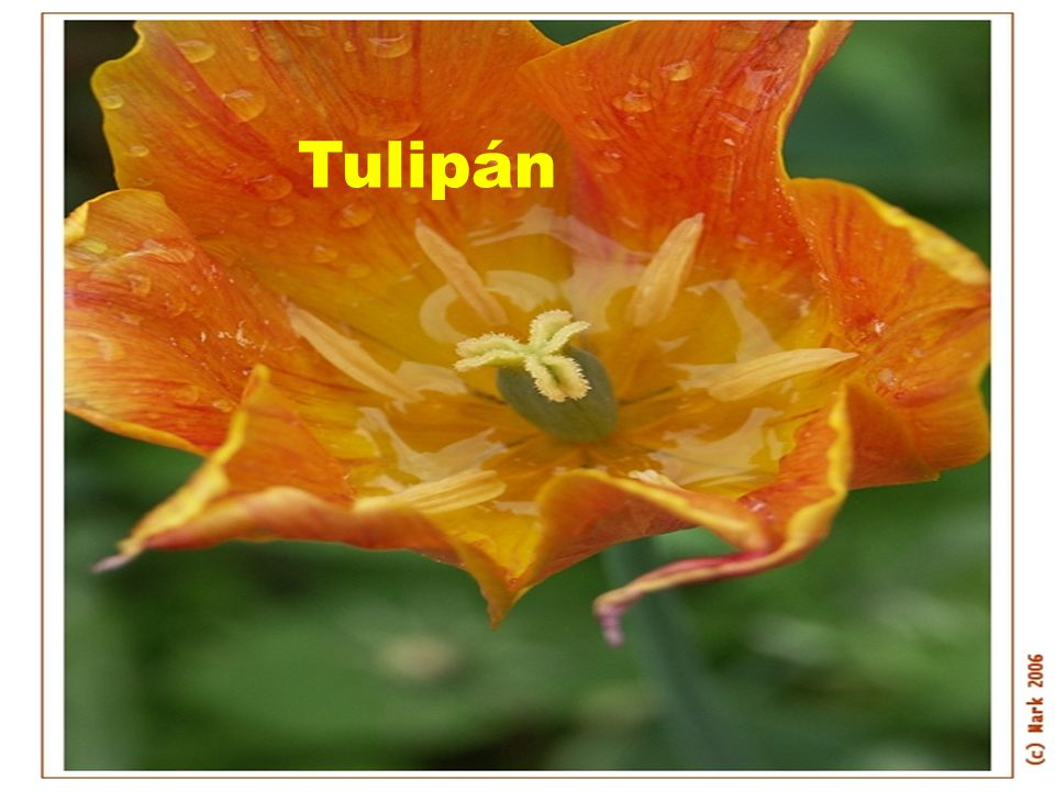 TULIPÁN Tulipán