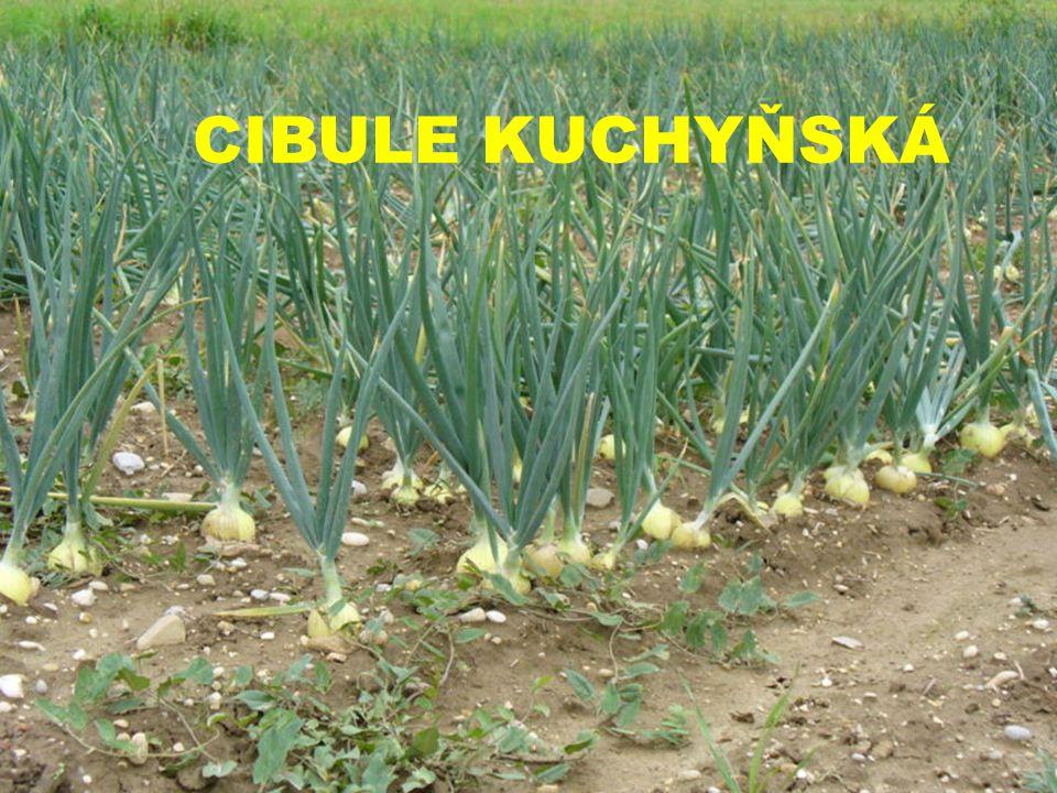 Cibule kuchyňská