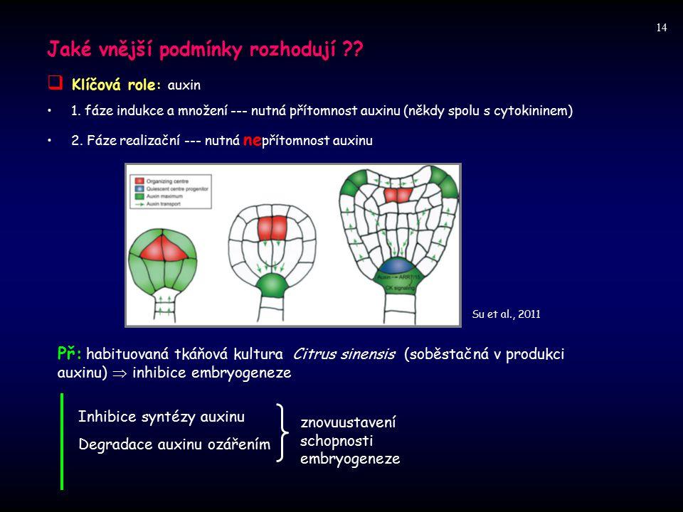 Jaké vnější podmínky rozhodují Klíčová role: auxin