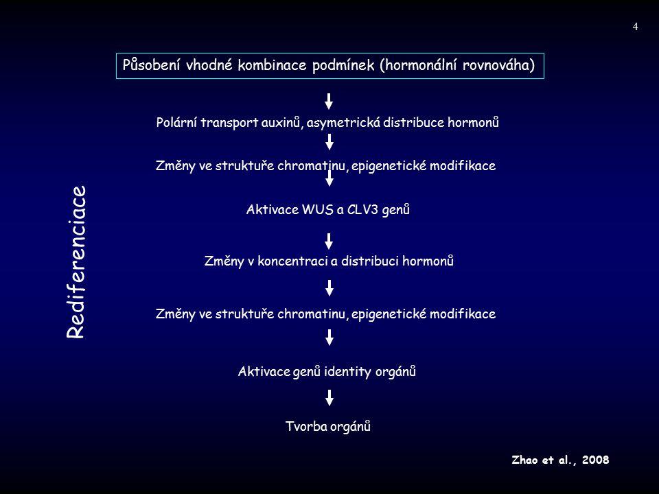 4 Působení vhodné kombinace podmínek (hormonální rovnováha) Polární transport auxinů, asymetrická distribuce hormonů.