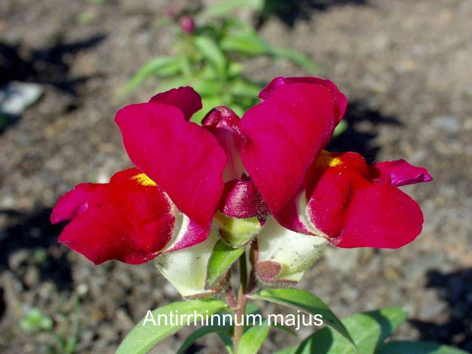 Antirrhinnum majus