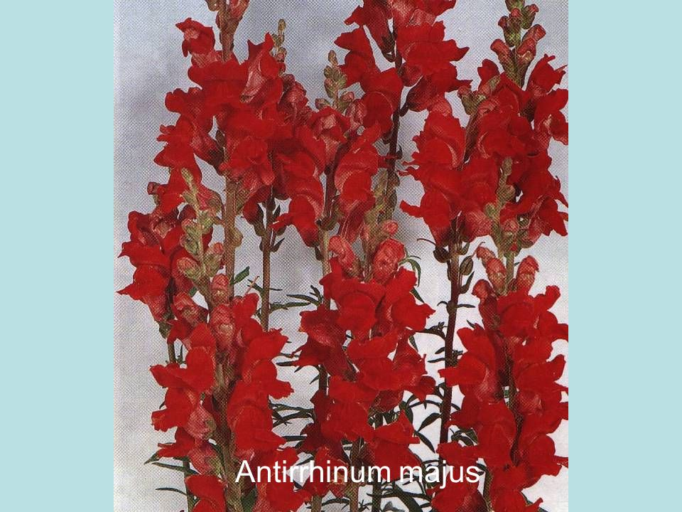 Antirrhinum majus