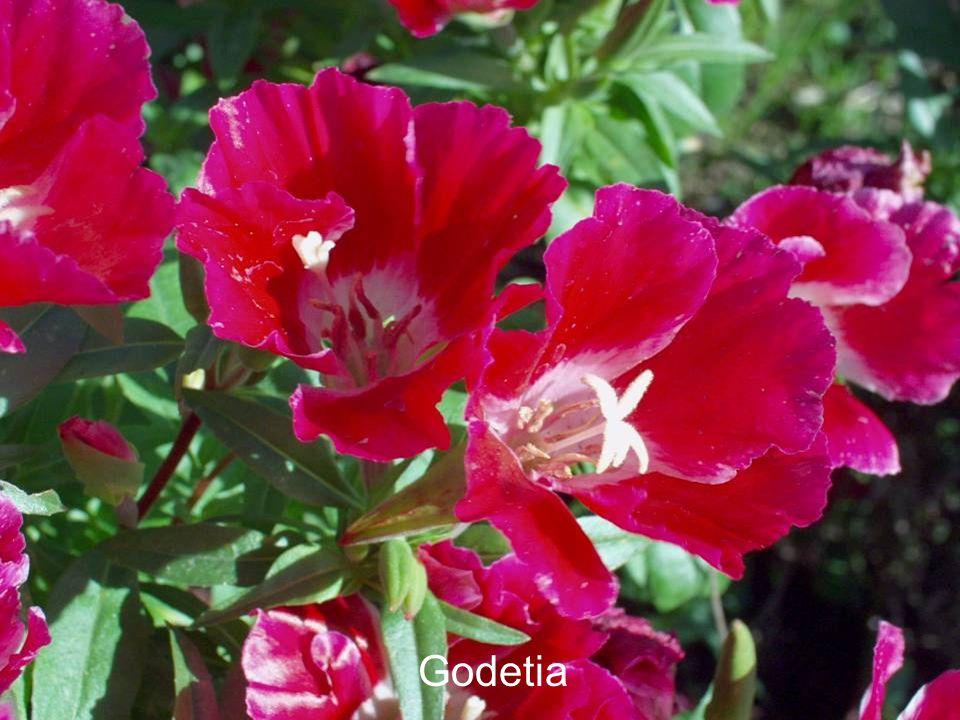 Godetia