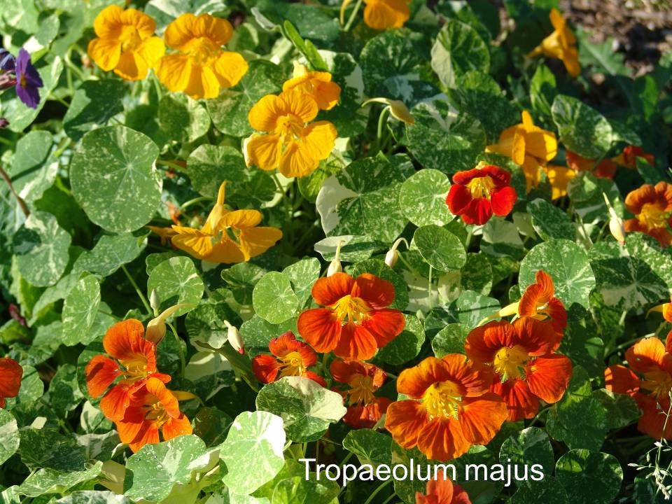 Tropaeolum majus