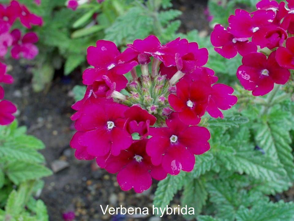 Verbena hybrida
