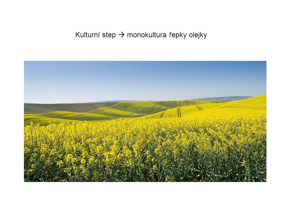 Kulturní step  monokultura řepky olejky