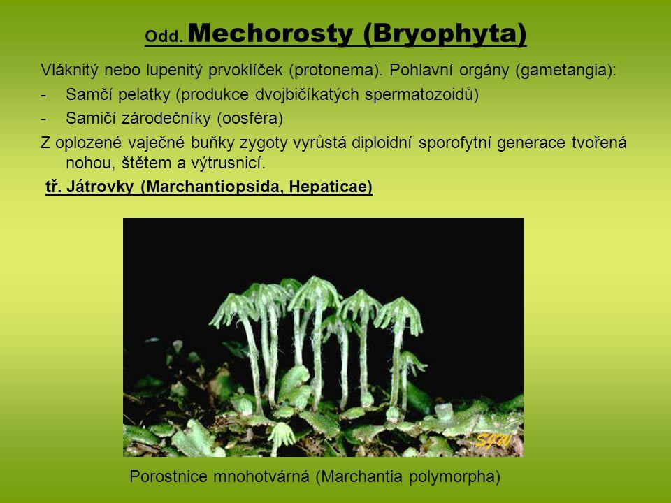 Odd. Mechorosty (Bryophyta)