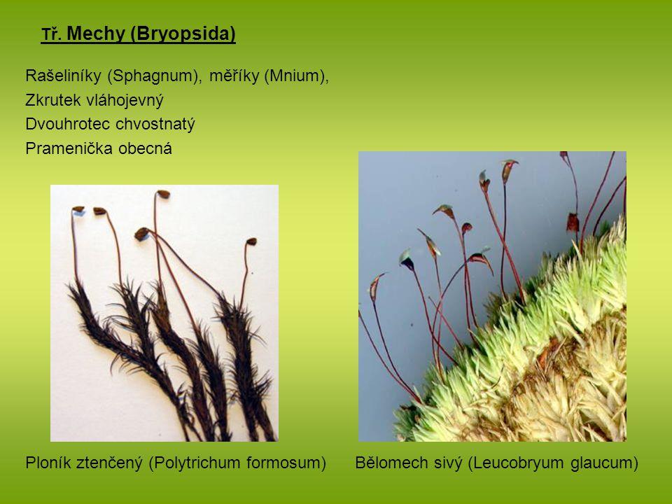 Tř. Mechy (Bryopsida) Rašeliníky (Sphagnum), měříky (Mnium), Zkrutek vláhojevný. Dvouhrotec chvostnatý.
