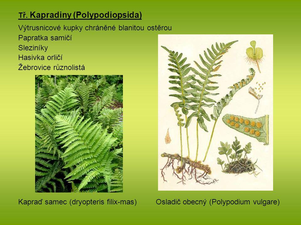 Tř. Kapradiny (Polypodiopsida)