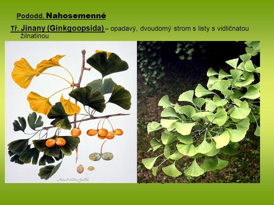 Pododd. Nahosemenné Tř. Jinany (Ginkgoopsida) – opadavý, dvoudomý strom s listy s vidličnatou žilnatinou.