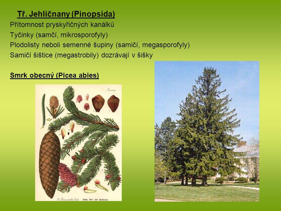 Tř. Jehličnany (Pinopsida)