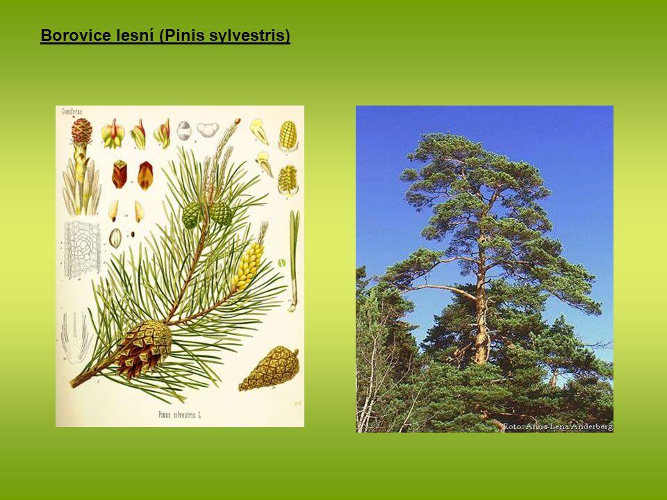 Borovice lesní (Pinis sylvestris)