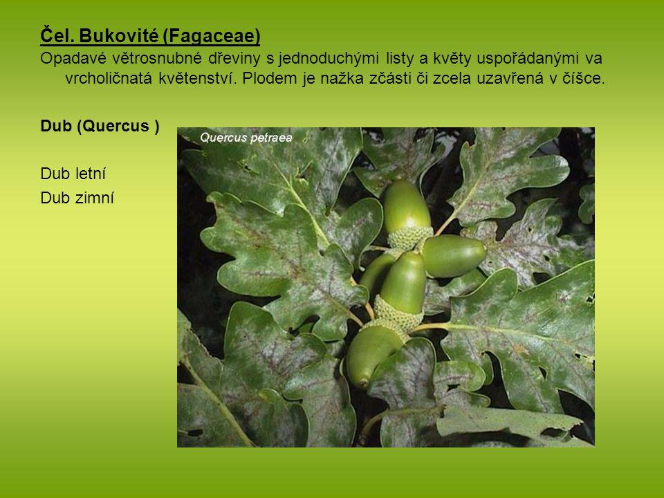 Čel. Bukovité (Fagaceae)