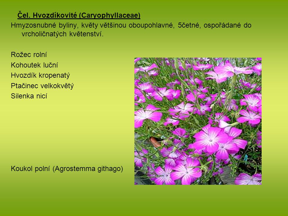 Čel. Hvozdíkovité (Caryophyllaceae)