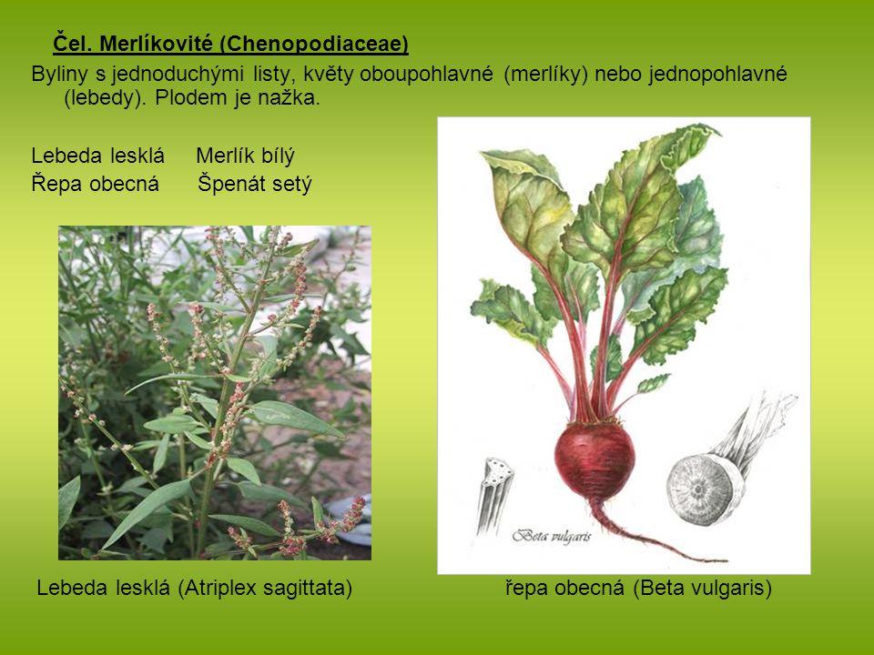 Čel. Merlíkovité (Chenopodiaceae)