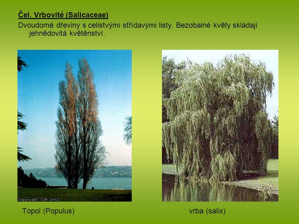 Čel. Vrbovité (Salicaceae)