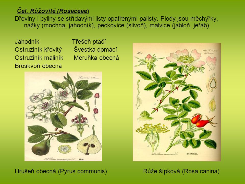 Čel. Růžovité (Rosaceae)