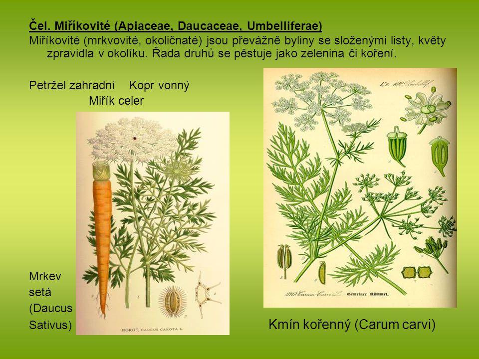 Čel. Miříkovité (Apiaceae, Daucaceae, Umbelliferae)