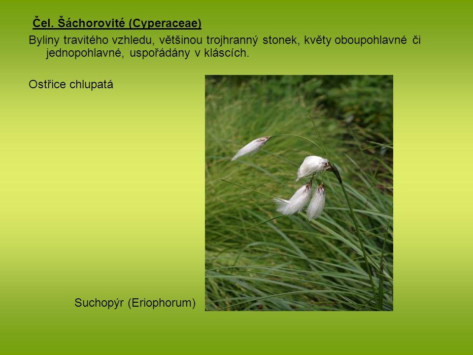 Čel. Šáchorovité (Cyperaceae)