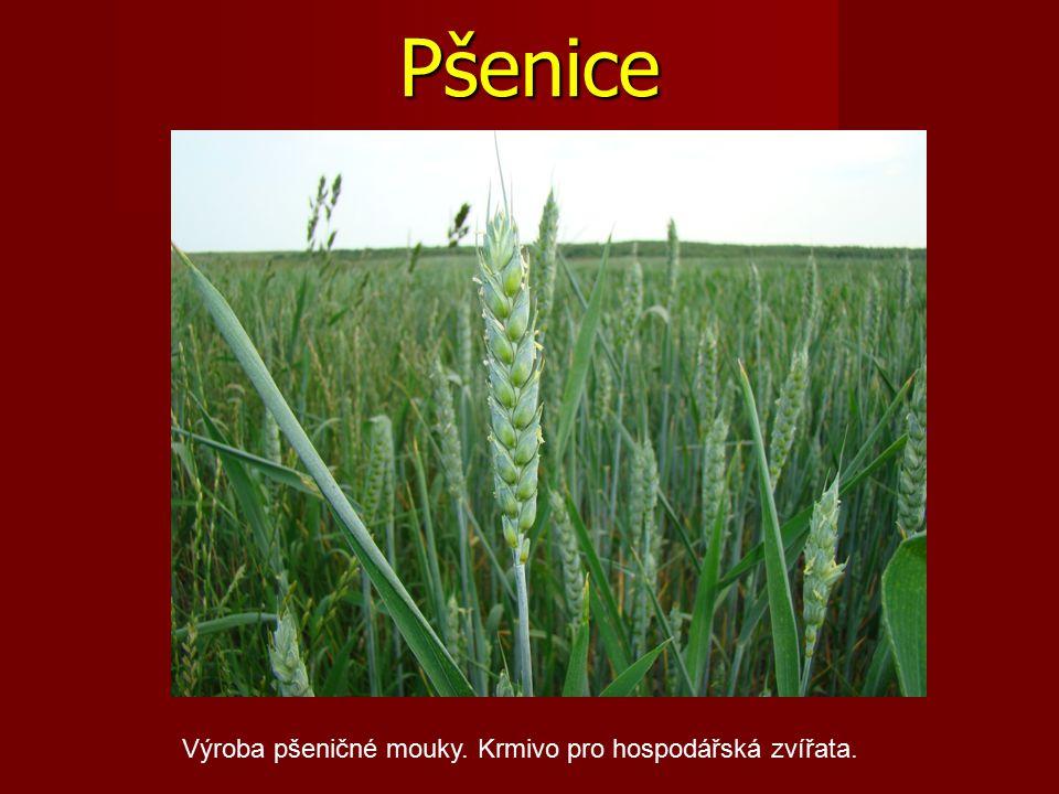 Pšenice Výroba pšeničné mouky. Krmivo pro hospodářská zvířata.