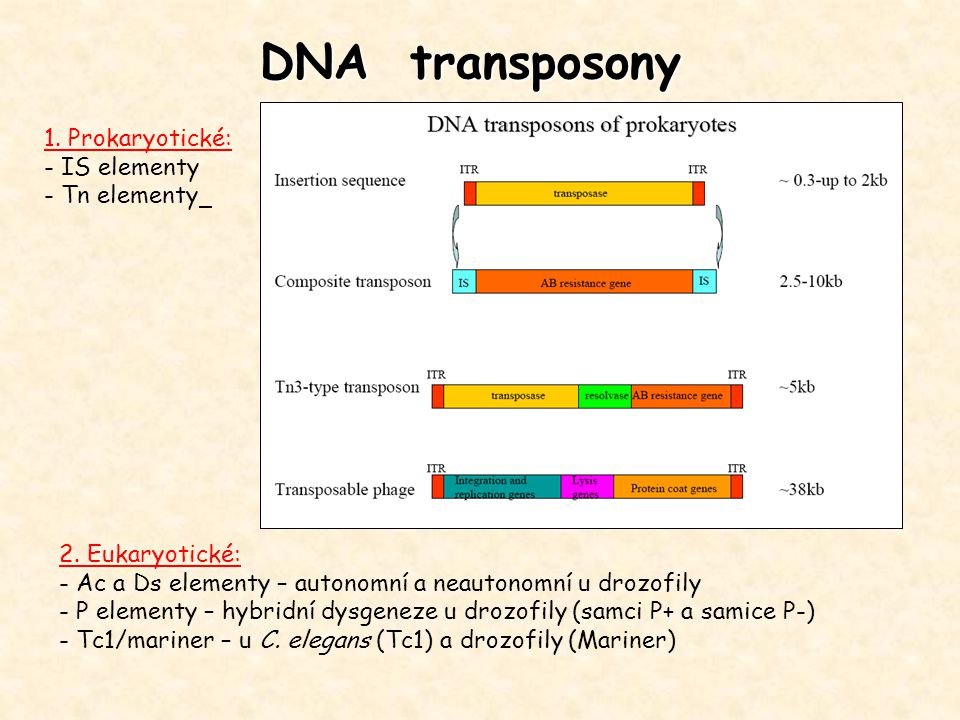 DNA transposony 1. Prokaryotické: - IS elementy - Tn elementy