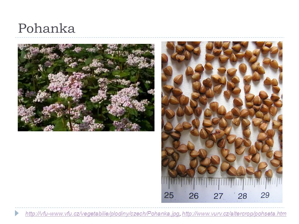 Pohanka http://vfu-www.vfu.cz/vegetabilie/plodiny/czech/Pohanka.jpg, http://www.vurv.cz/altercrop/pohseta.htm.