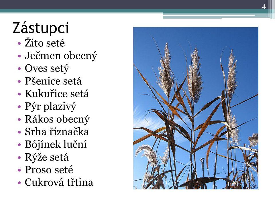 Zástupci Žito seté Ječmen obecný Oves setý Pšenice setá Kukuřice setá