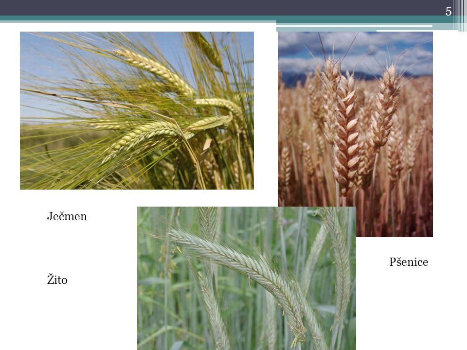Ječmen Pšenice Žito