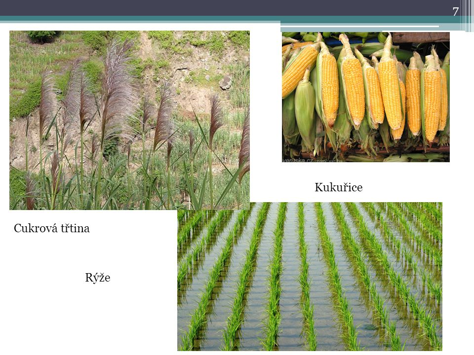 Kukuřice Cukrová třtina Rýže
