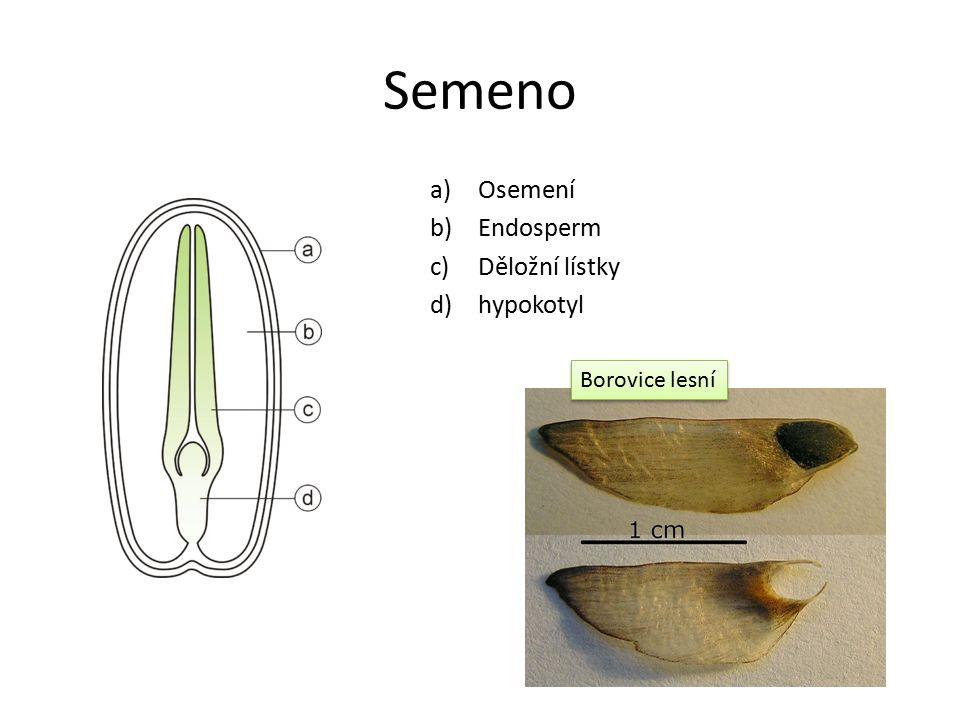 Semeno Osemení Endosperm Děložní lístky hypokotyl Borovice lesní