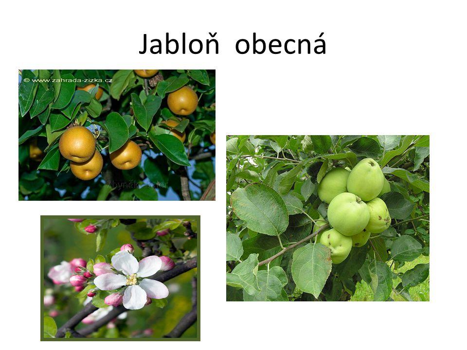 Jabloň obecná