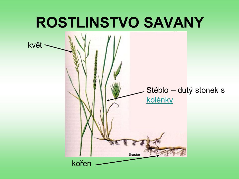 ROSTLINSTVO SAVANY květ Stéblo – dutý stonek s kolénky kořen