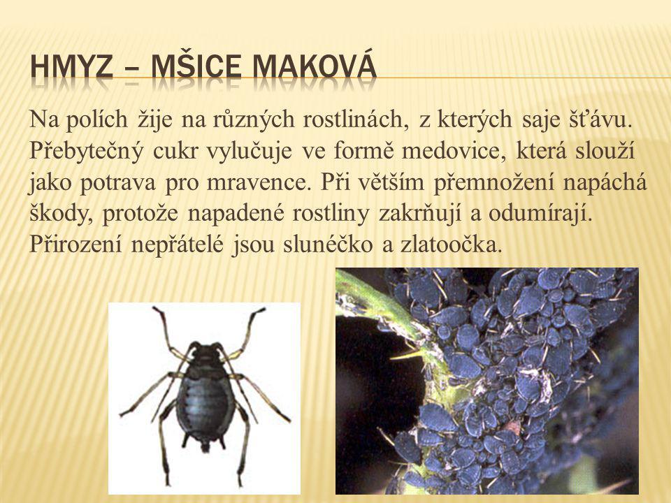 Hmyz – mšice maková