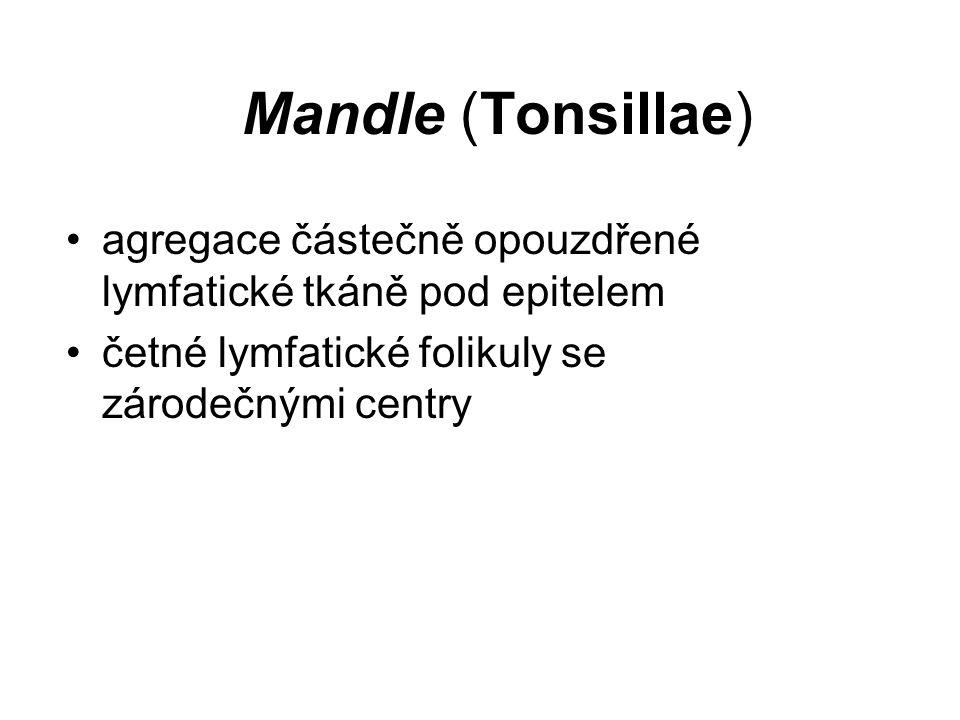 Mandle (Tonsillae) agregace částečně opouzdřené lymfatické tkáně pod epitelem.