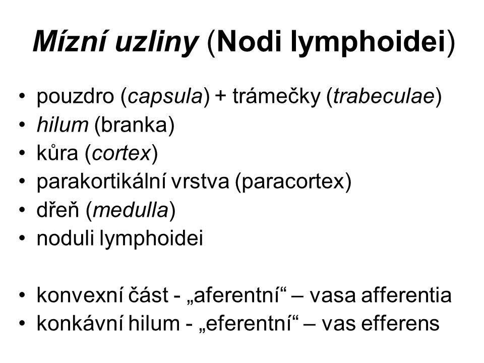 Mízní uzliny (Nodi lymphoidei)