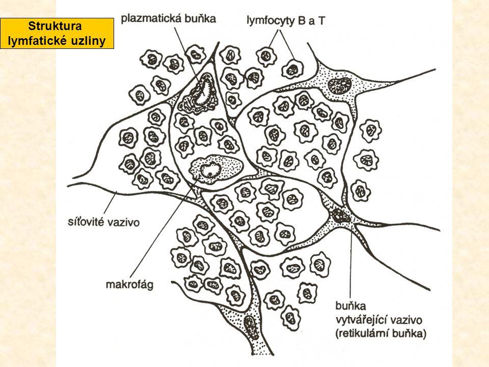 Struktura lymfatické uzliny