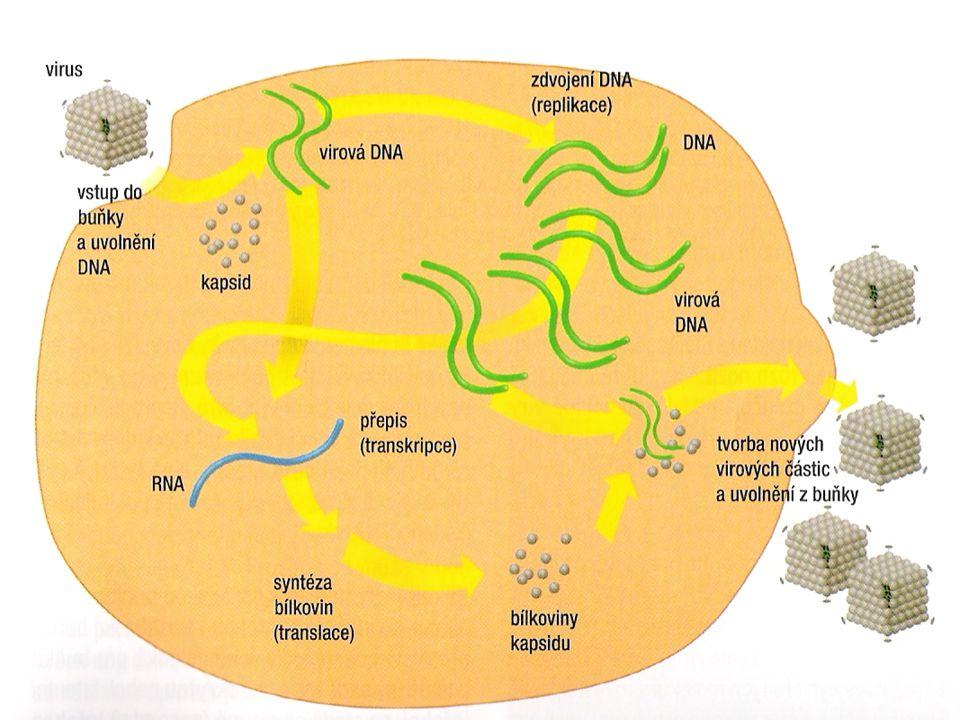 Lytický cyklus DNA viru