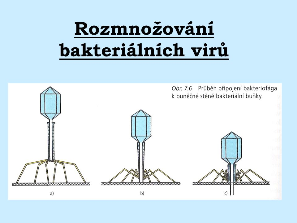 Rozmnožování bakteriálních virů