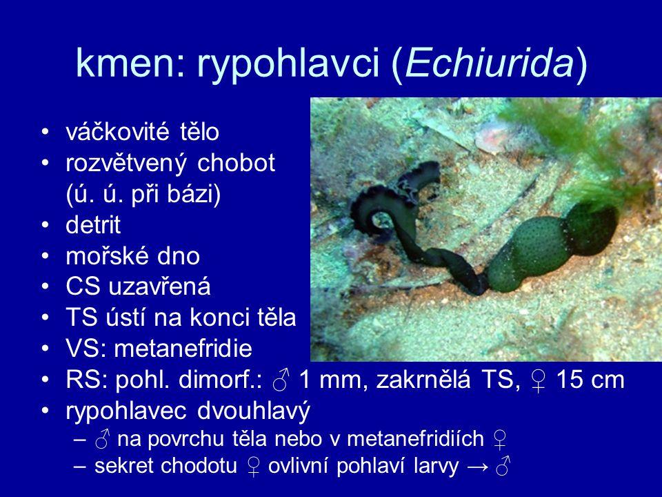 kmen: rypohlavci (Echiurida)
