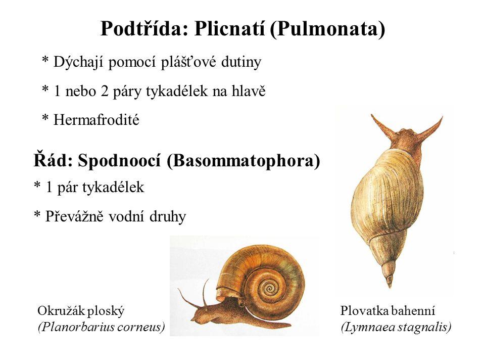 Podtřída: Plicnatí (Pulmonata)