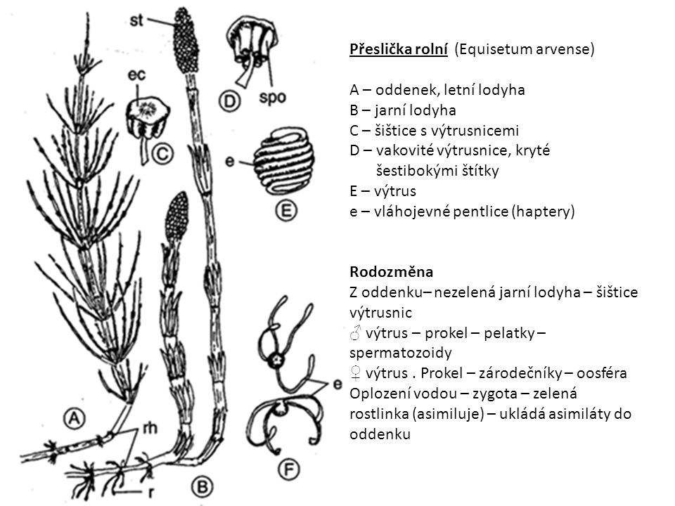 Přeslička rolní (Equisetum arvense)