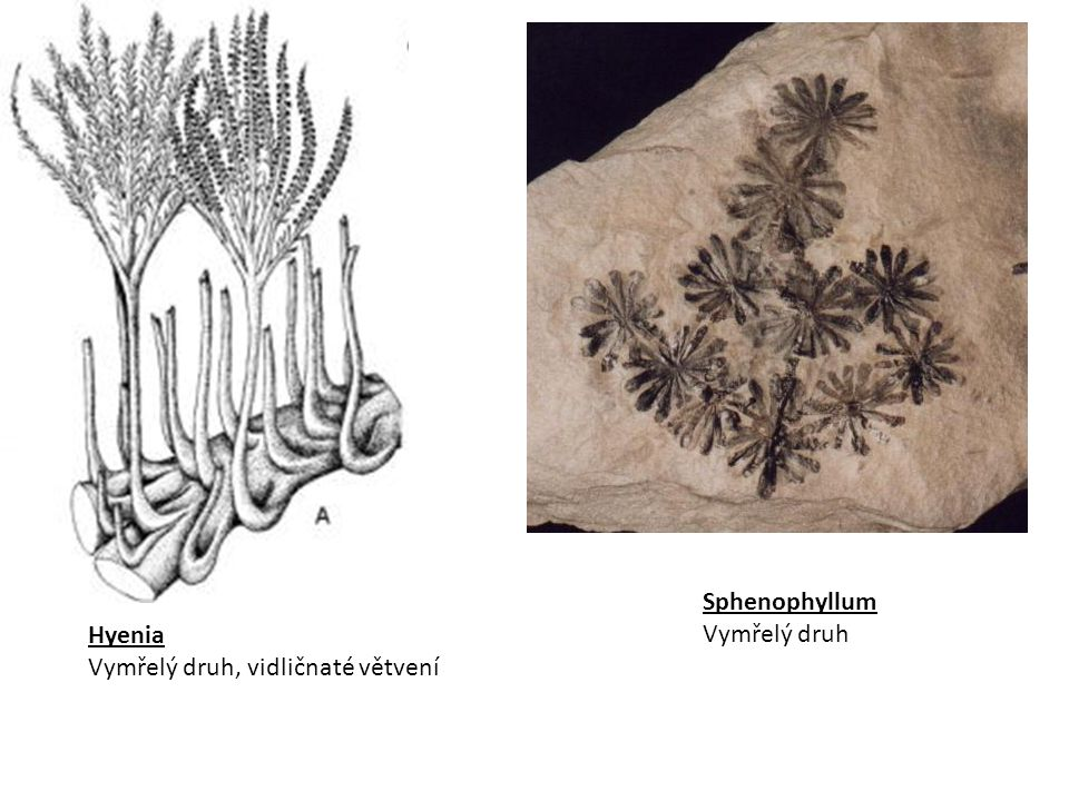 Sphenophyllum Vymřelý druh Hyenia Vymřelý druh, vidličnaté větvení