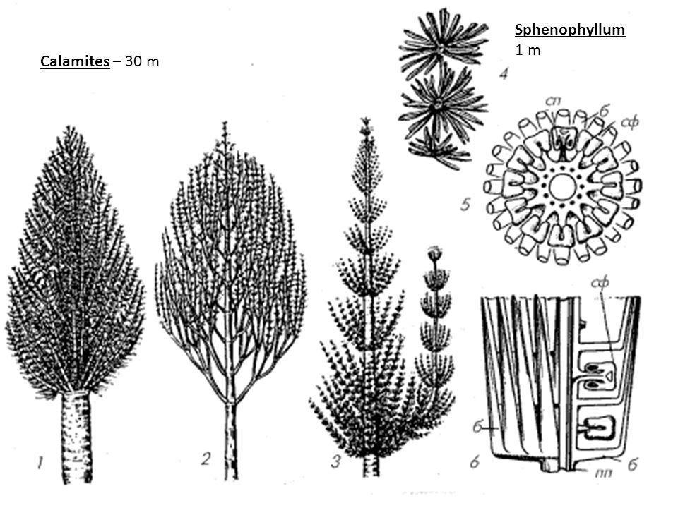 Sphenophyllum 1 m Calamites – 30 m