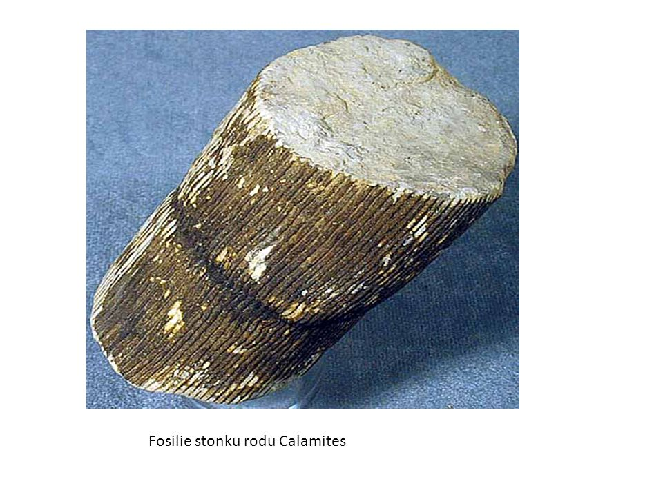 Fosilie stonku rodu Calamites