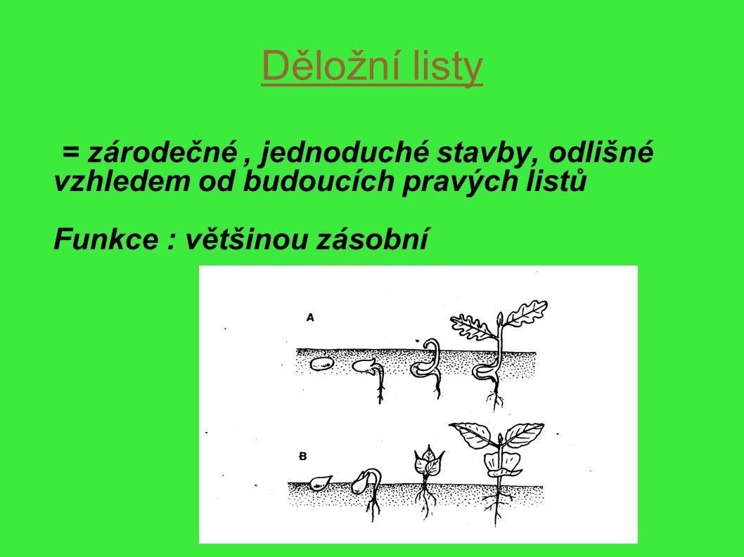 Děložní listy = zárodečné , jednoduché stavby, odlišné vzhledem od budoucích pravých listů.