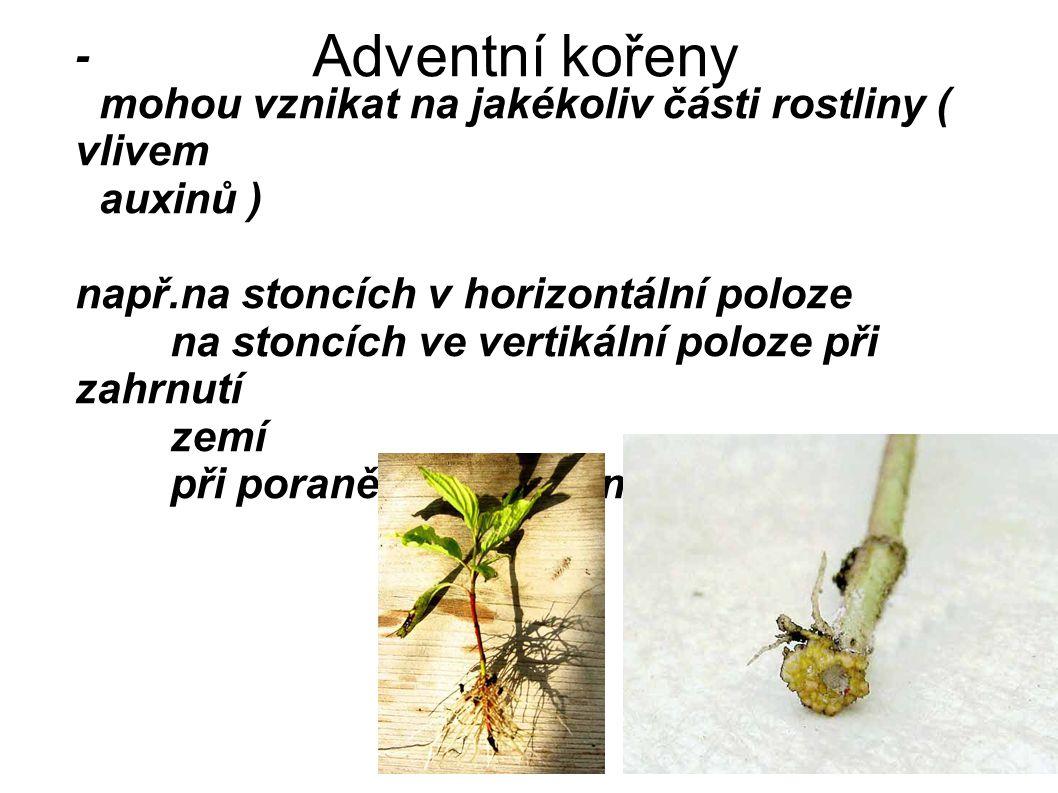 Adventní kořeny - mohou vznikat na jakékoliv části rostliny ( vlivem