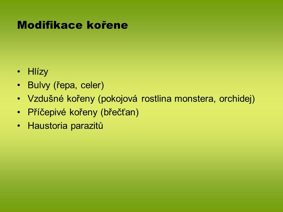 Modifikace kořene Hlízy Bulvy (řepa, celer)